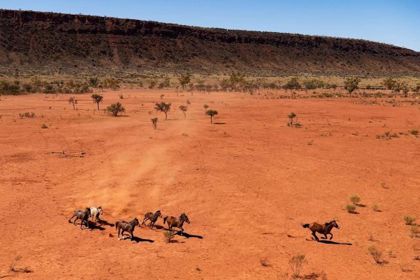 A group of horse run through the red desert.