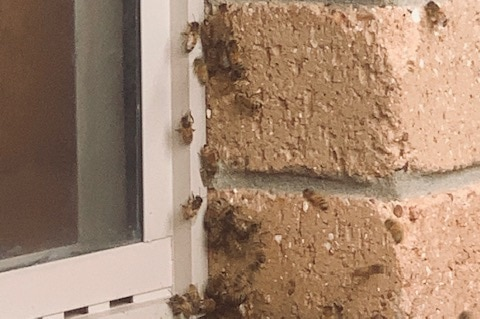 Window frame in brick wall with bees along the edge of the frame