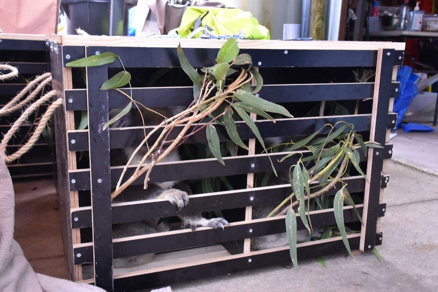A koala inside a crate with some gum leaves sticking out.
