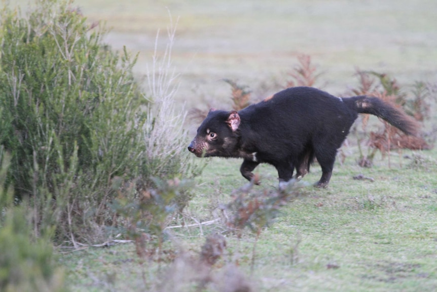 Tasmanian devil heads for bushes in Narawntapu National Park.