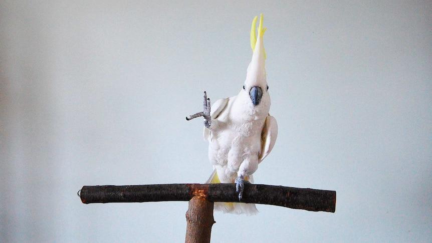 Cockatoo dancing