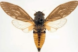 Gudanga emmotti cicada, a new species of the insect confirmed in outback Queensland