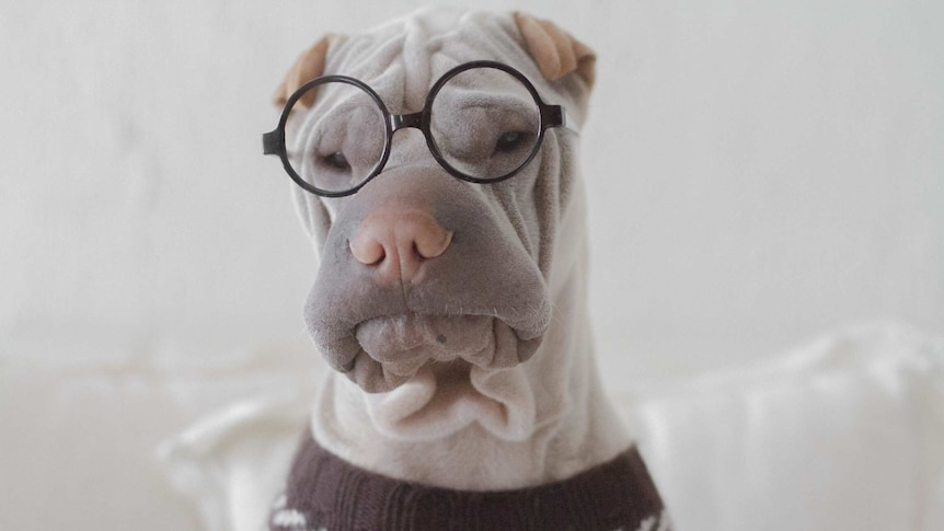 A shar pei dog dressed in a sweater and glasses