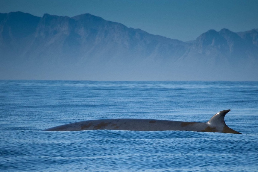 Brydes whale in False Bay, South Africa