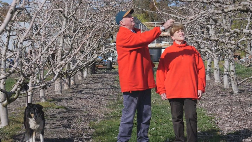 A man and a woman wearing red jumpers are standing in an orchard looking at apple trees