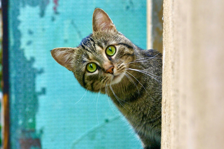 A grey cat with green eyes leans out over a cement ledge, with a blue outdoor wall behind it.