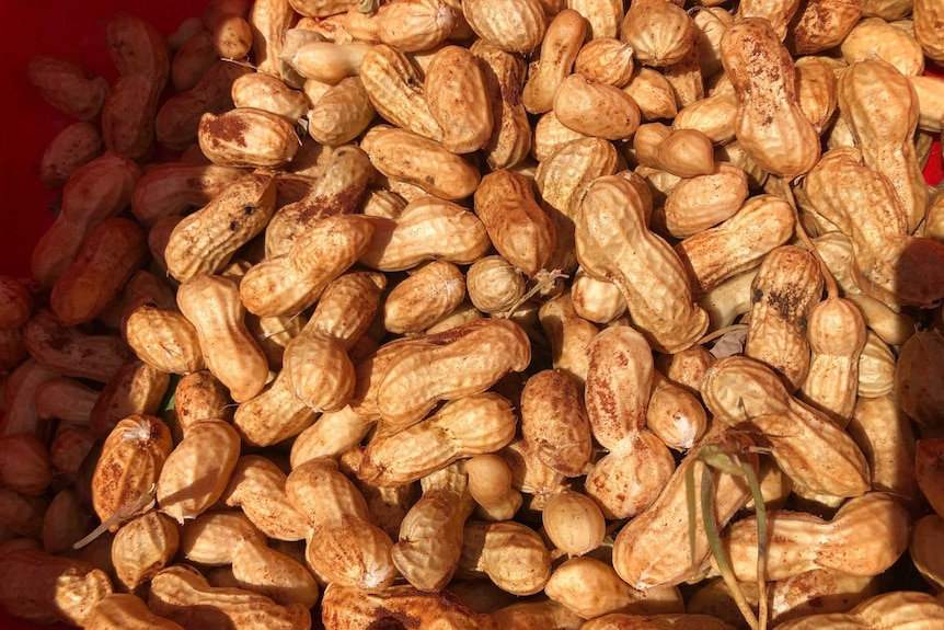 A pile of unshelled peanuts.