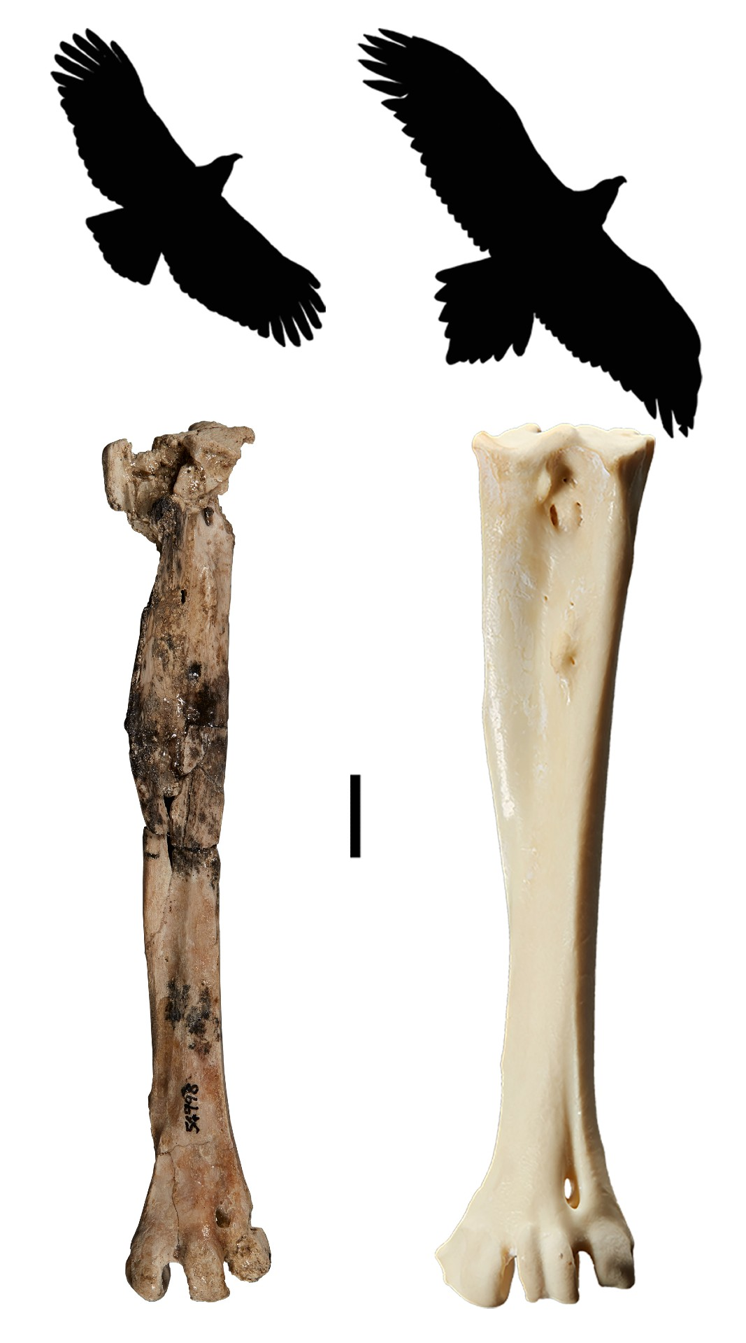 Two silhouettes of eagles and two leg bones