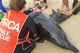 A dolphin on the beach with volunteers placing small slings under it