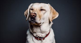A Golden Labrador with a red collar.