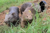 Three wombats at an artificial burrow hole.