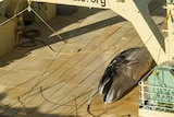 A dead minke whale on the deck of a ship.