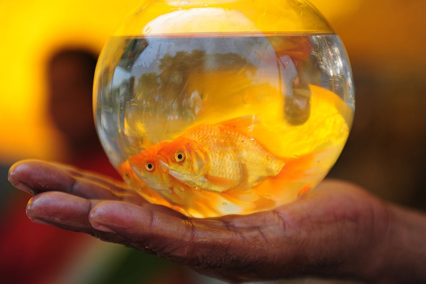 Two goldfish in a small bowl in the palm of a hand.