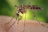 A female Aedes aegypti mosquito bites someone's skin.