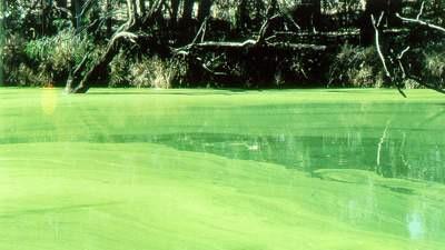 Blue green algal bloom