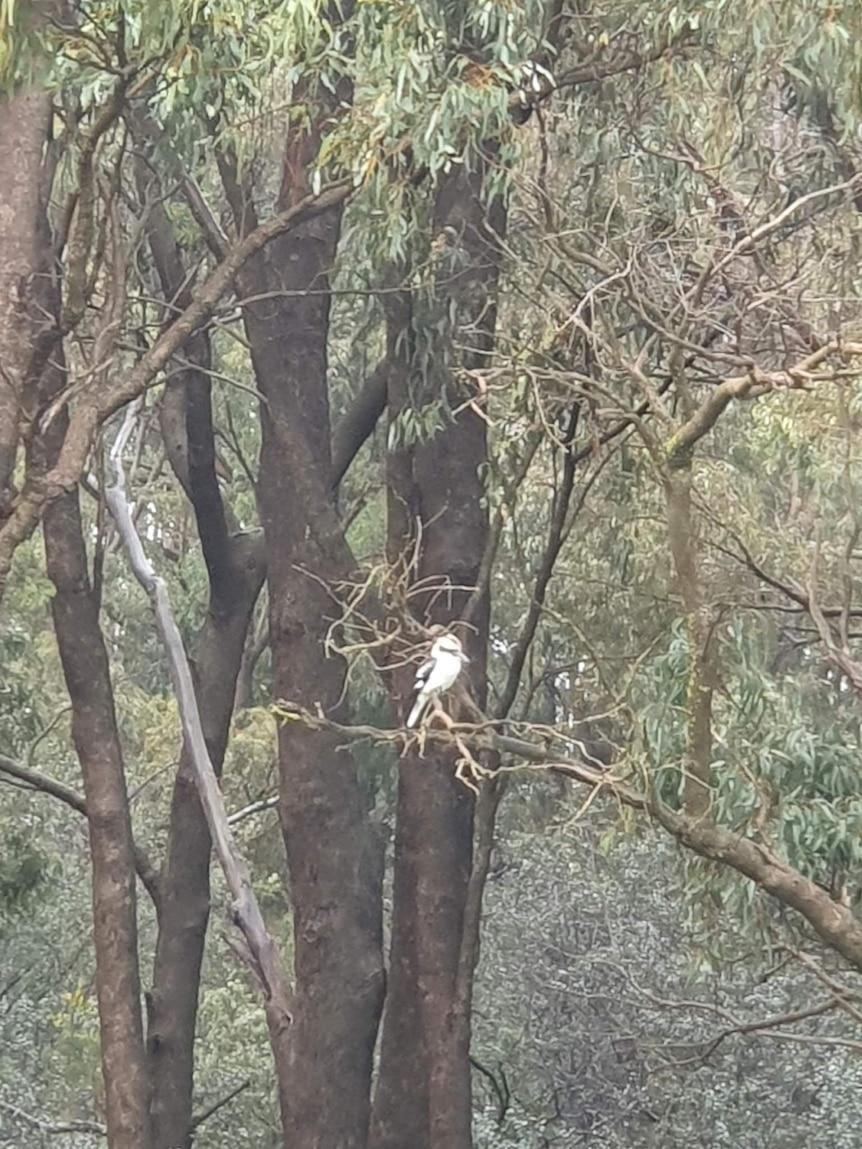 A kookaburra in a tree.