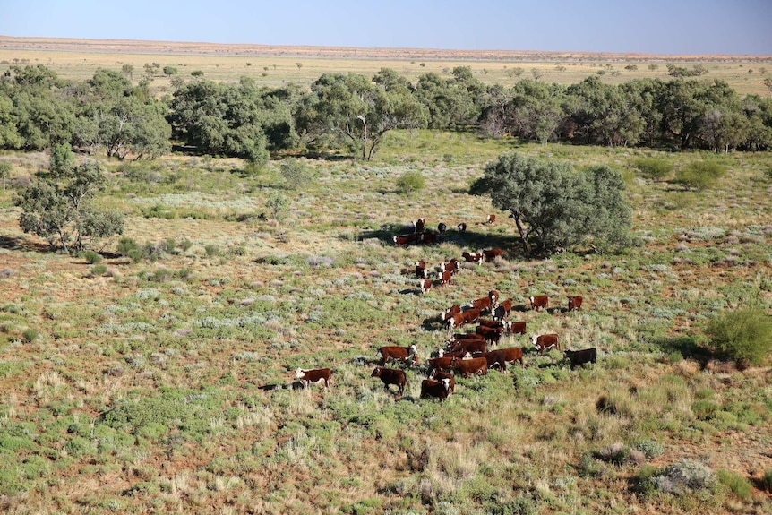 An aerial shot of cattle grazing in a green paddock