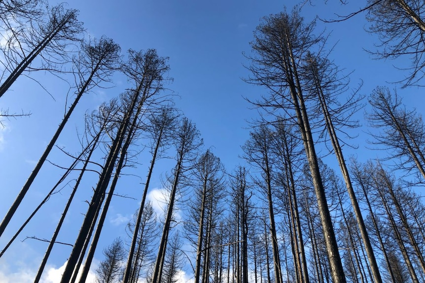 Blackened remnants of pine trees against a blue sky.