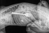 An x-ray image showing a fork inside a dog's stomach