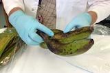 Banana Freckle disease
