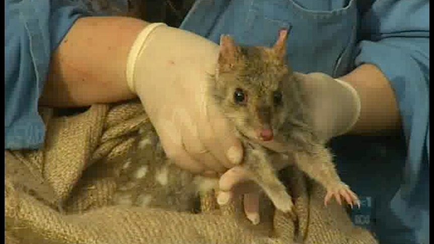 Eastern quoll in decline: scientists
