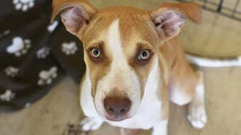 A white and brown dog gives 'puppy dog eyes' to the camera.