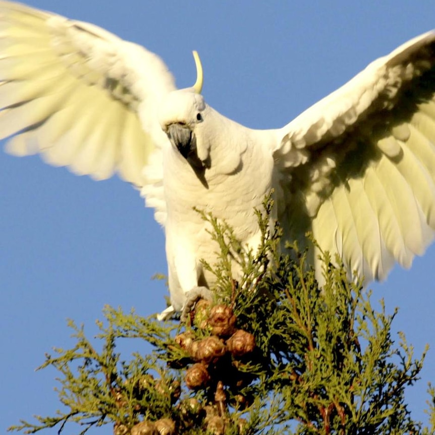 A sulphur-crested cockatoo perches on a tree