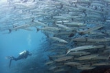 A scuba diver approaches a swirling school of giant barracudas