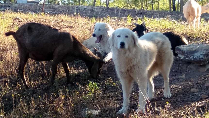 Two fluffy white dogs watch on as two brown goats feed on grass.