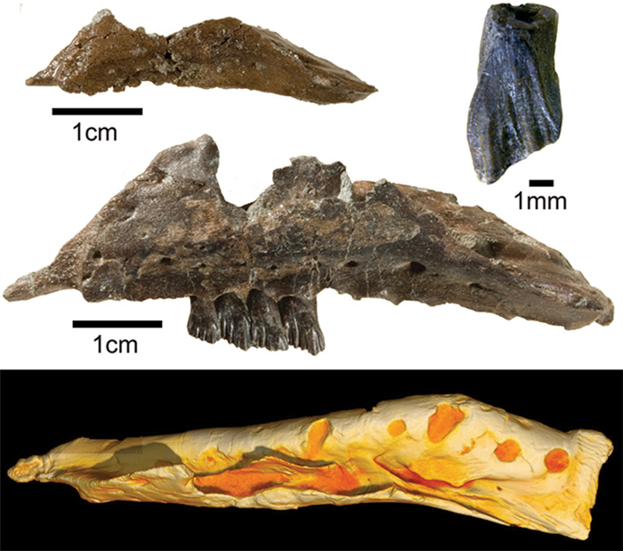 Fossils and 3D CT model of Galleonosaurus jawbone