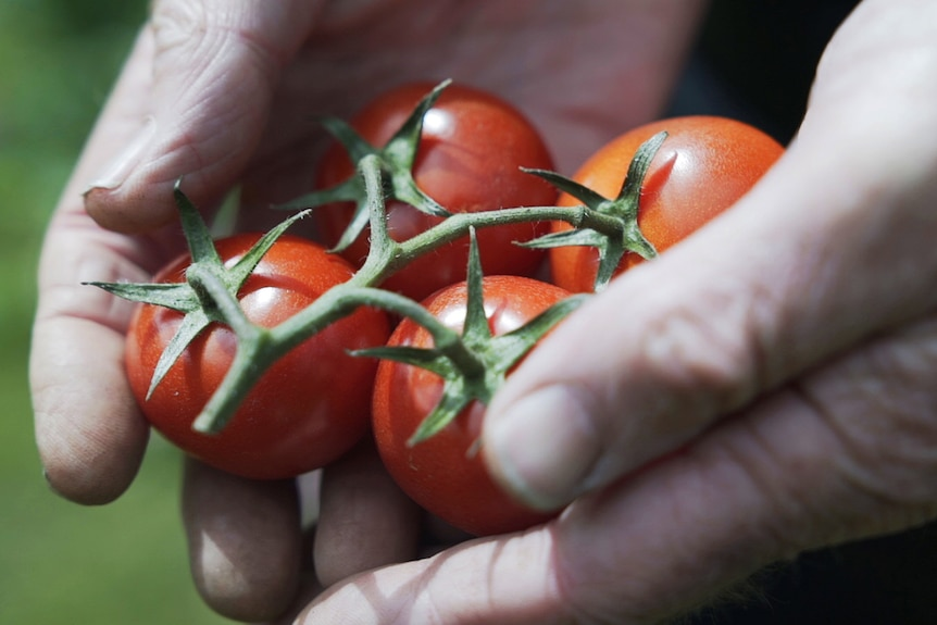 cherry tomatoes being held in a pair of hands, these tomatoes can be home grown in a veggie patch or hobby farm.