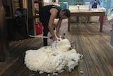 A man shears a sheep inside a shearing shed.