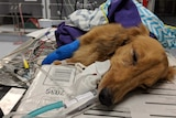 Hamish the dog with a tube in his mouth at a vet surgery
