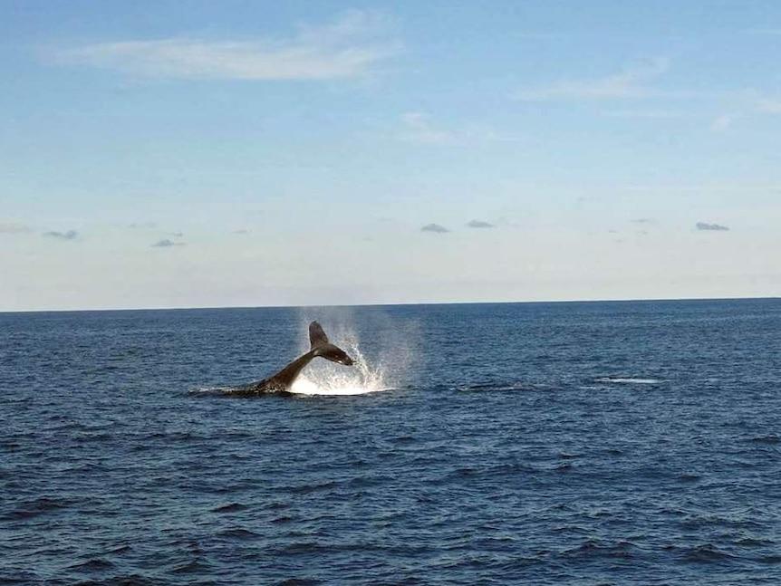 Humpback whale lifts its tail as it passes along Australia's east coast