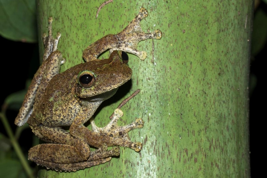 Female Litoria Myola Frog clinging to a vertical, green trunk and looking at the camera