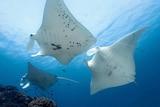 Three manta rays swim together in waters off Lady Elliot Island.