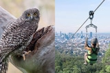 A composite image of a powerful owl and an artist's impression of the Mount Coot-tha zipline.