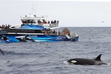 A tour boat festooned with observers watch as a killer whale surges through the sea.