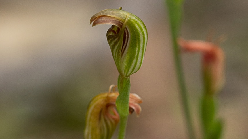The small, curled green flower of the pot-bellied greenhood orchid.