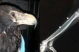 Eagle wrapped in blanket alongside image of x-ray.