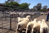 The docking length of a lambs tail is a big health issue
