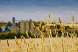 A crop of wheat in the foreground, with fields, blue skies and grain bins in the background