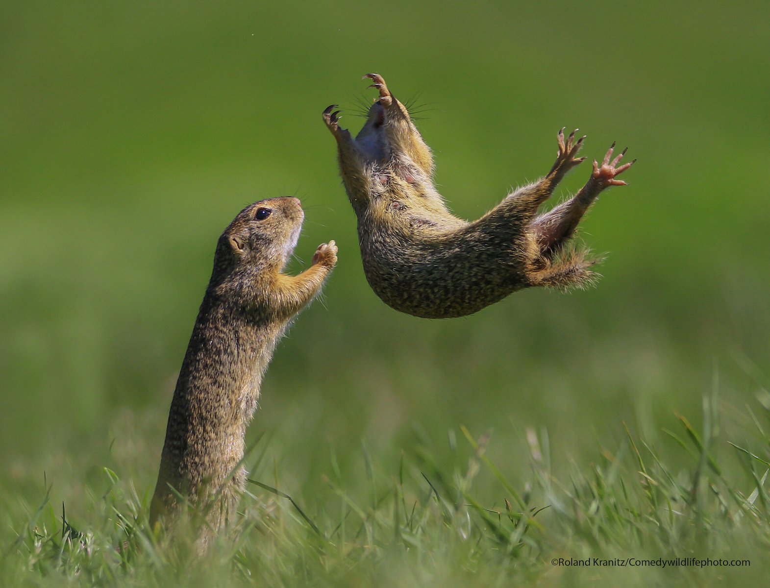 A gopher jumps in the air as if to be caught by a fellow gopher.
