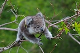 A young koala searching for leaves