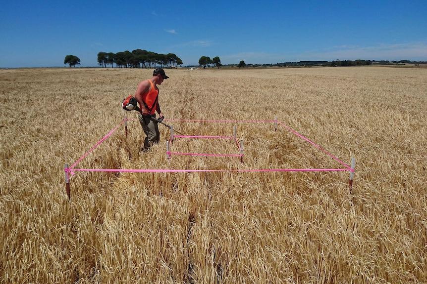 Pink ribbon in a barley crop
