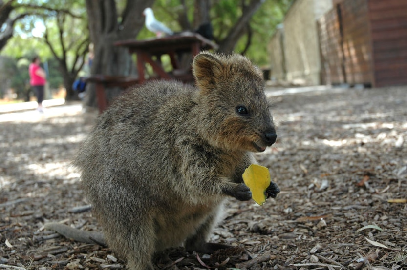 A quokka munches on a leaf.