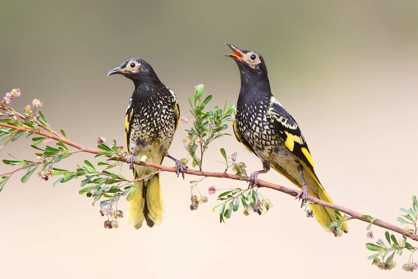 Two birds with yellow tails perch on a branch as one chirps.