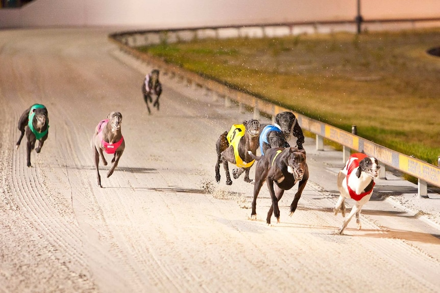 Eight greyhounds race down a sand track at Cannington.