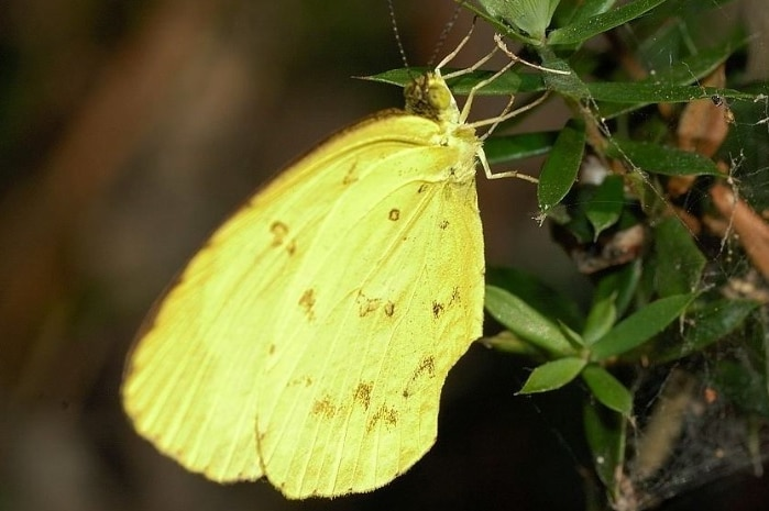 A yellow butterfly resting on a leaf