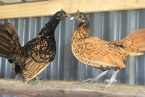 Mr Hand breeds seabright bantams, small chickens with impressive feathers.